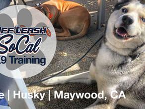 Opie | Husky | Maywood, CA