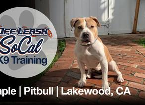 Maple | Pitbull | Lakewood, CA