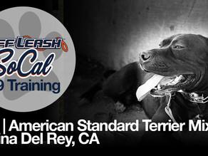 Milo | American Standard Terrier Mix | Marina Del Rey, CA