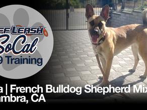 Bella | French Bulldog Shepherd Mix | Alhambra, CA