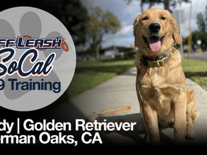 Goldy | Golden Retriever | Sherman Oaks, CA