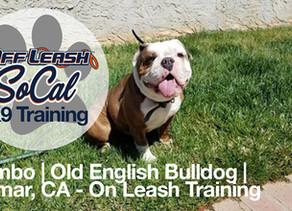 Rambo | Old English Bulldog | Sylmar, CA - On Leash Training