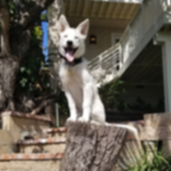 OffLeash SoCal Dog Trainer - Husky