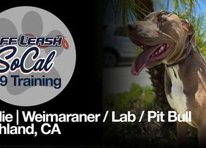 Sadie | Weimaraner/ Lab/ Pit | Highland, CA