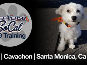 Lexi | Cavachon | Santa Monica, Ca