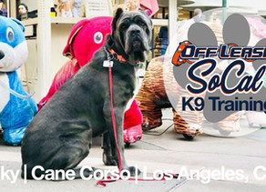 Nicky | Cane Corso | Los Angeles, CA