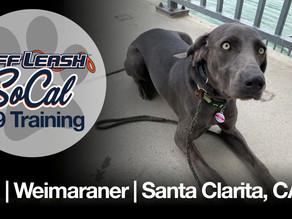 Lexi | Weimaraner | Santa Clarita, CA