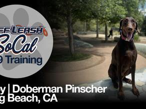 Ruby   Doberman Pinscher   Long Beach, CA