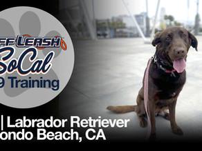 Kiki   Labrador Retriever   Redondo Beach, CA