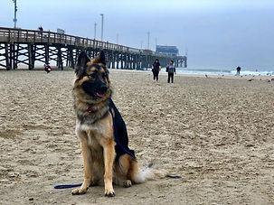 5 - Ayla _ German Shepherd _ Long Beach,