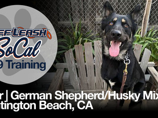 Thor | German Shepherd/Husky Mix | Huntington Beach, CA