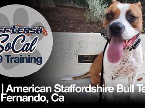 Oso | American Staffordshire Bull Terrier | San Fernando, CA