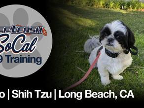 Coco | Shih Tzu | Long Beach, CA