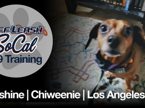 Sunshine | Chiweenie | Los Angeles, CA