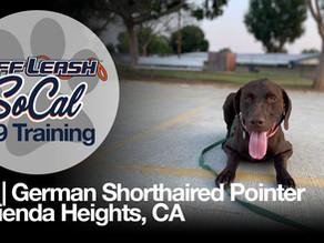 Rex | German Shorthaired Pointer | Hacienda Heights, CA