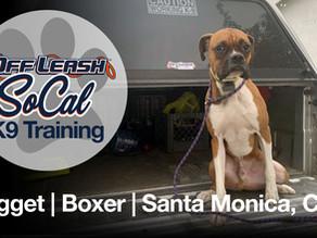 Nugget | Boxer | Santa Monica, CA