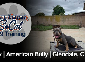 Lux | American Bully | Glendale, CA