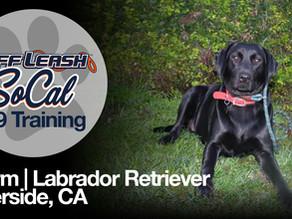 Storm | Labrador Retriever | Riverside, CA