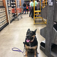 2- Kahlua _ 4yr German Shepherd Mix _ Lo