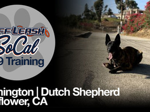 Remington | Dutch Shepherd | Bellflower, CA