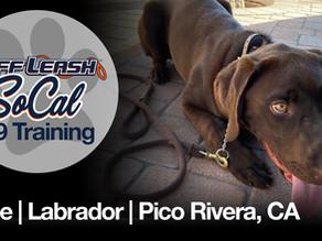 Kobe | Labrador | Pico Rivera, CA