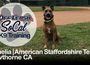Ophelia | American Staffordshire Terrier | Hawthorne, CA