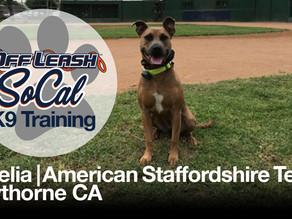 Ophelia   American Staffordshire Terrier   Hawthorne, CA