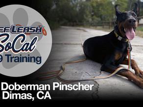 Sir   Doberman Pinscher   San Dimas, CA