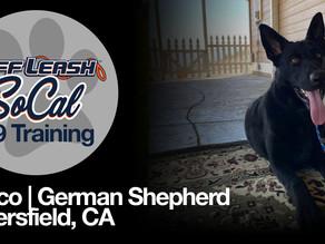 Rocco | German Shepherd | Bakersfield, CA