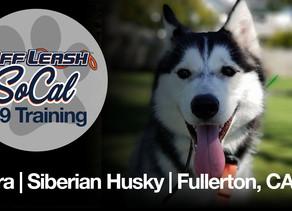 Sora   Siberian Husky   Fullerton, CA