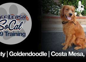 Rusty | Golden Doodle | Costa Mesa, CA