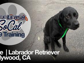 Opie | Labrador Retriever | Hollywood, CA