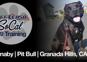 Barnaby | Pitbull | Granada Hills, CA
