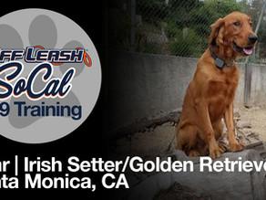Bear | Irish Setter/Golden Retriever | Santa Monica, CA
