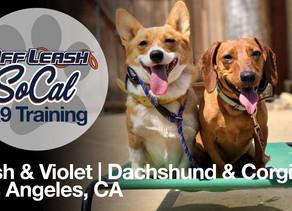 Dash & Violet | Dachshund & Corgi | Los Angeles, CA