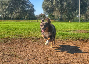 Khloe | Mini Australian Shepherd | Long Beach, CA