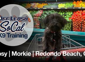Tipsy | Morkie | Redondo Beach, CA