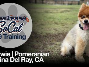Chewie | Pomeranian | Marina Del Rey, CA