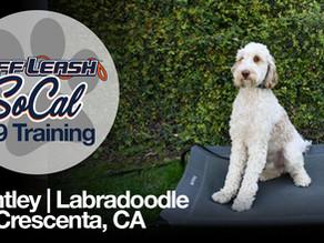 Bentley | Labradoodle | La Crescenta, CA