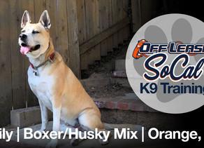 Lily   Boxer/Husky Mix   Orange, CA