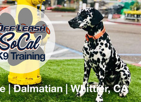 Blue | Dalmatian | Whittier, CA