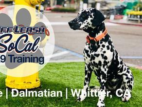 Blue   Dalmatian   Whittier, CA