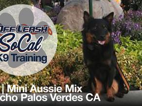 Dax| Mini Aussie Mix | Rancho Palos Verde