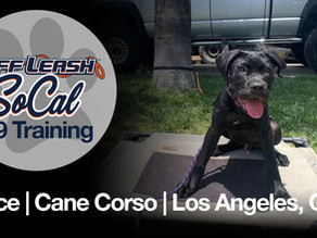 Bruce | Cane Corso | Los Angeles, CA