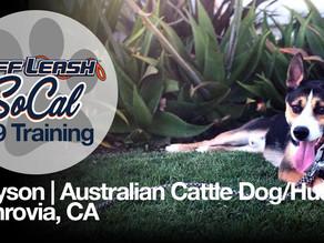 Greyson | Australian Cattle Dog/Husky | Monrovia, CA