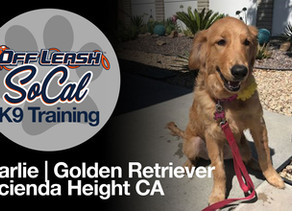 Charlie | Golden Retriever | Hacienda Height CA