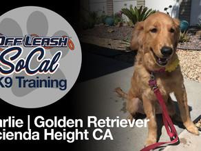 Charlie | Golden Retriever | Hacienda Height CA