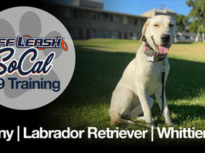 Penny | Labrador Retriever | Whittier, CA