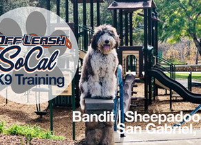 Bandit | Sheepadoodle | San Gabriel, CA