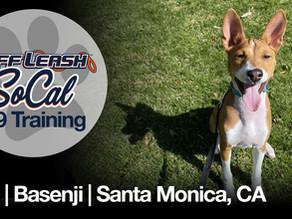Ace | Basenji | Santa Monica, CA